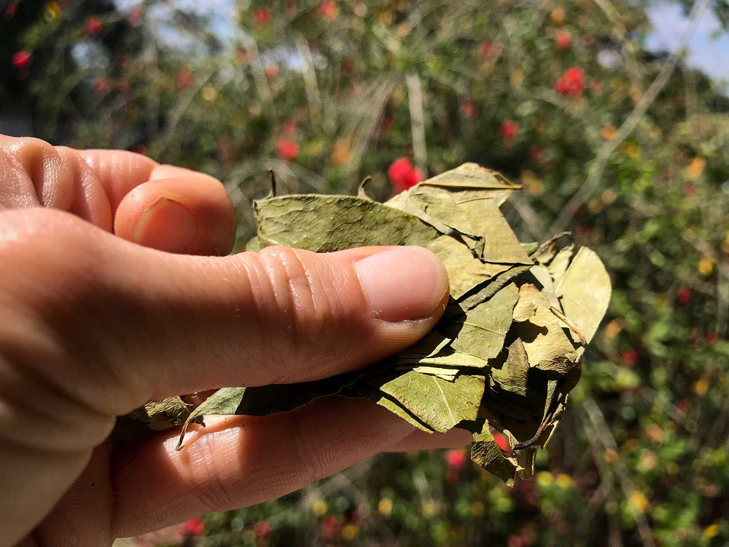 Coca leaves are an integral part of the lives of the Andean peoples from both a cultural and traditional medicine perspective.