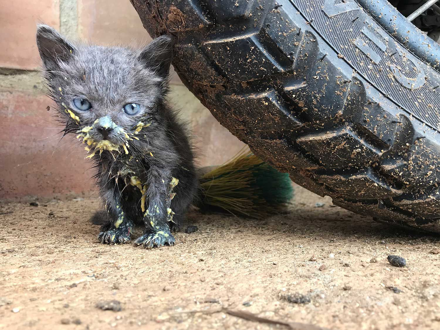 Possibly the least threatening tiny predatory in existence; a rescued kitten after a very messy meal. Cali, Colombia.