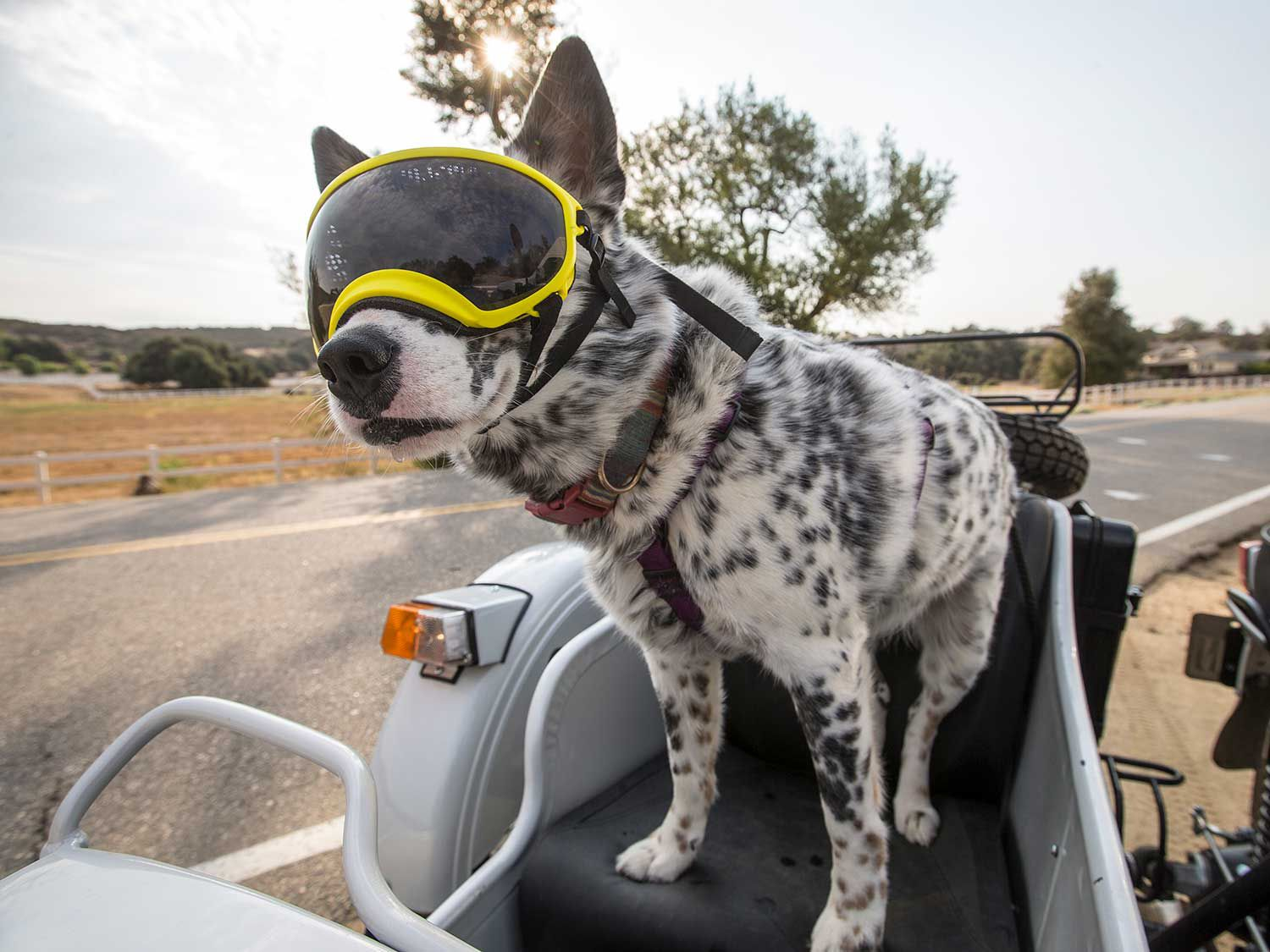 Join Australian cattle dog Gracie as she gears up to tour the country with her dad, Justin Dawes, in <em>Motorcyclist</em>'s new YouTube series, Dog, Gone!