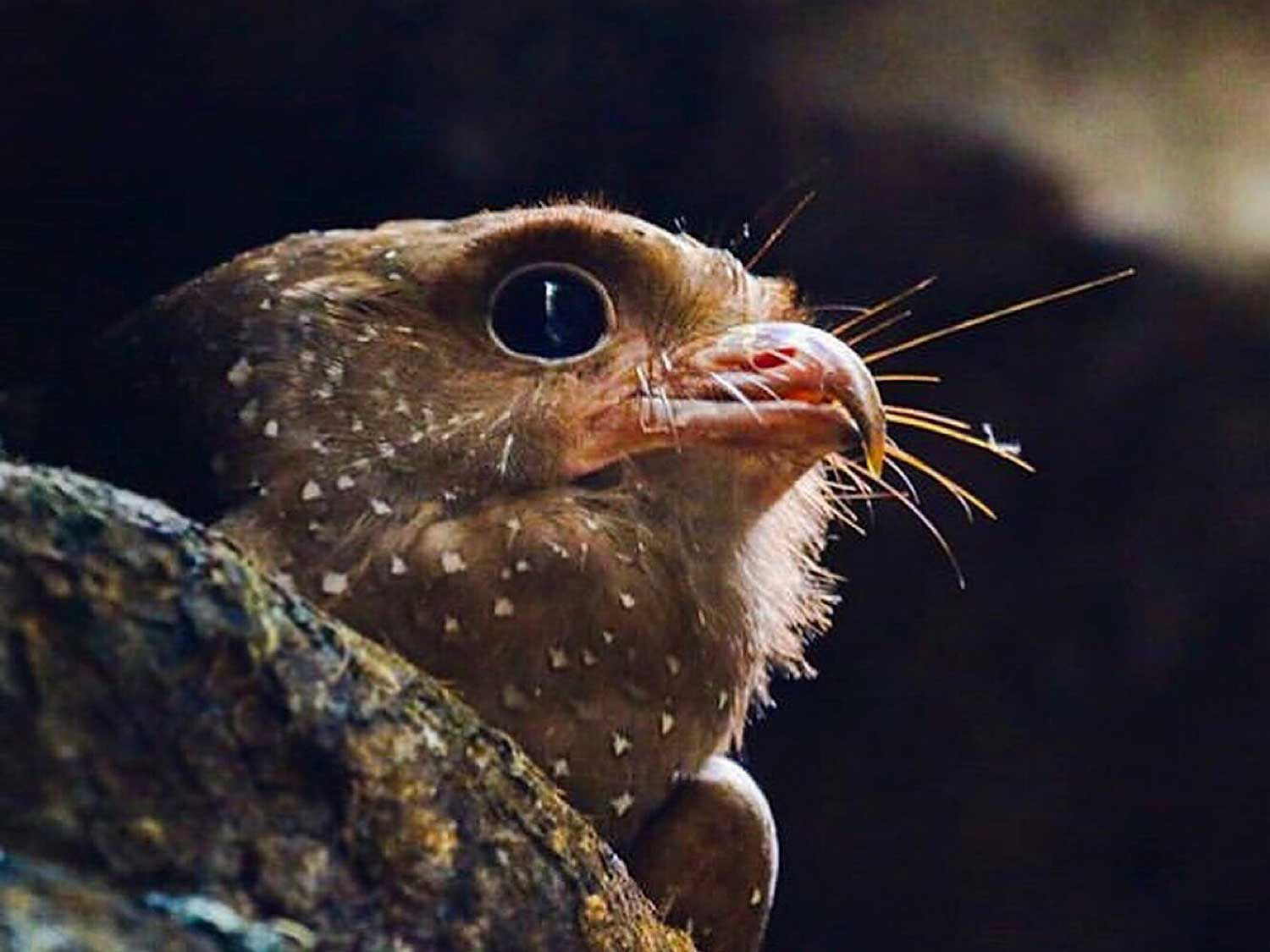 Close up with an oilbird in Peru, the only nocturnal, exclusively fruit-eating, flying bird in existence.