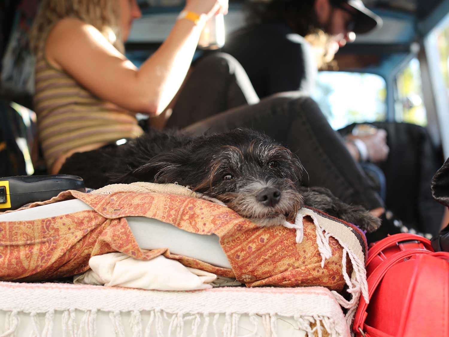 Best Boy in Show resting in one of the custom vans. Paradise Road Show is family and pet friendly!